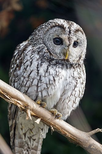 AND A GRAY OWL