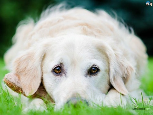 """JUST SAY.....""""GOLDEN RETRIEVER"""" AND SAVE $50 ON ANY SIZE PORTRAIT!"""