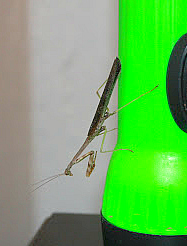 PRAYING MANTIS ON THE FLASHLIGHT