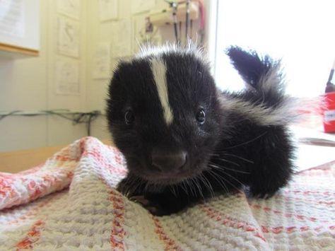 baby skunk....Pinterest