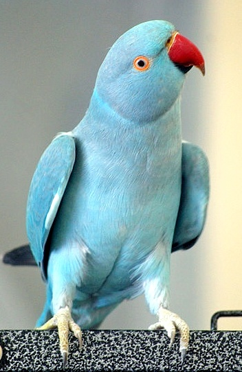 SUSAN WALSH - BLUE PARROT