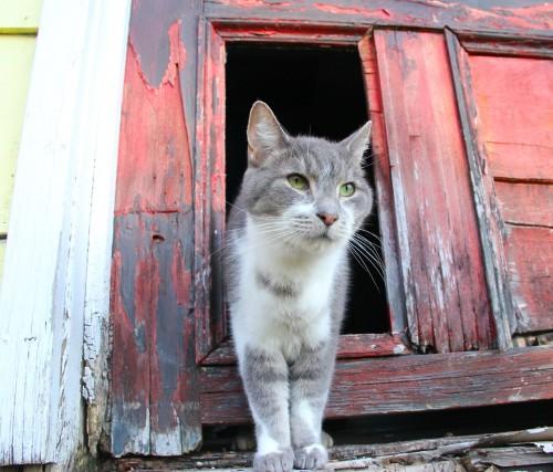 BOOMIE THE CAT